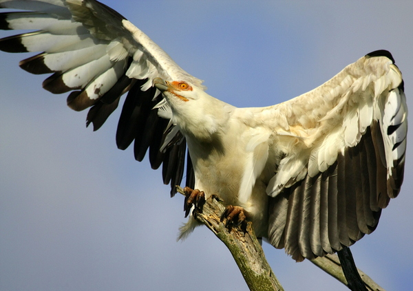 Vulture Wings 1: a Scarce Palmnut Vulture launching into taking off (Only to be found in a few areas in Southern Africa)
