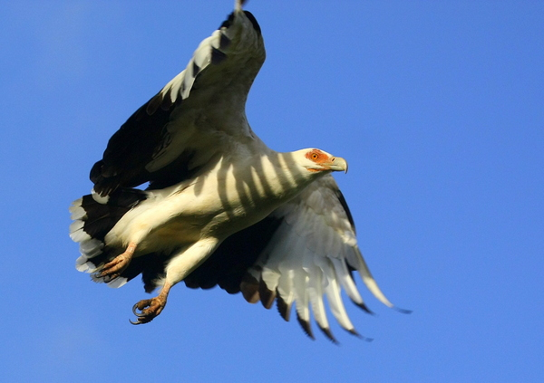 Vulture Wings 3: a Scarce Palmnut Vulture launching into taking off (Only to be found in a few areas in Southern Africa)