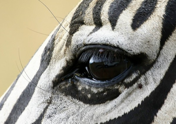 Zebra Eye and reflection 1: Close-up eye of a Zebra, with the ticks and reflection visible