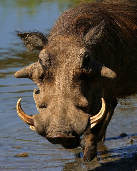 Warthog Close-ups 2: African Warthog - (Not a Bush-pig) various close ups of head , Tusks & Eye
