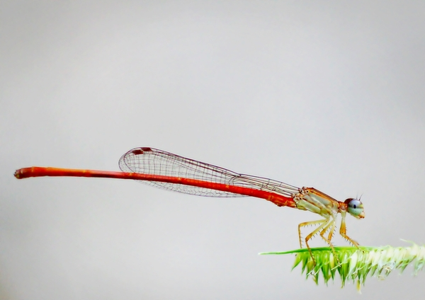 Needle Thin Dragonfly: Needle thin red bodied Dragon fly