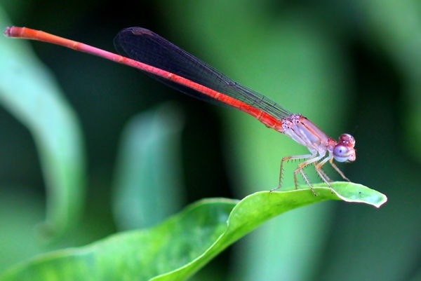 Needle Thin Dragonfly: Needle thin red bodied Dragon fly on a leave