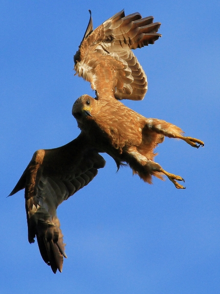 Yellow Billed Kite Attack: Yellow Billed Kite (Falcon) dive