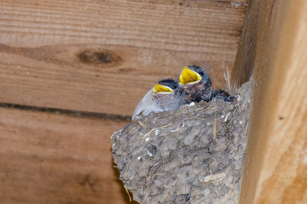 Baby Swallow: These little were born the day before this shot was taken