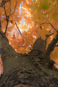 Adirondack fall: tree in the Adirondacks in the fall