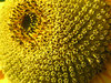 sunflower close-up: No description