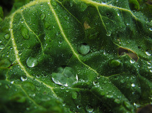 Wet vegetable.: Vegetable close-up with drops of water.