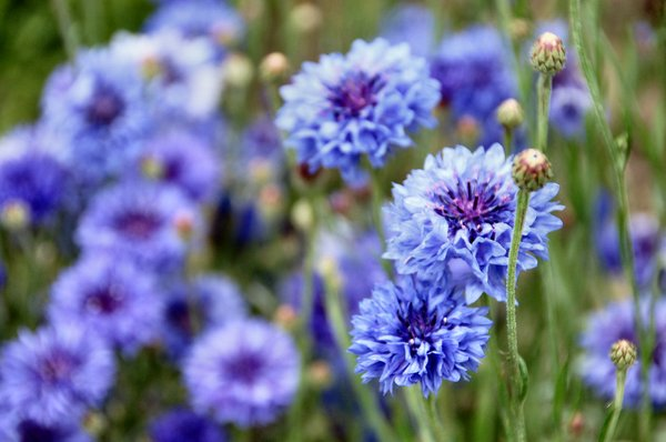 Cornflowers: On my allotment today.