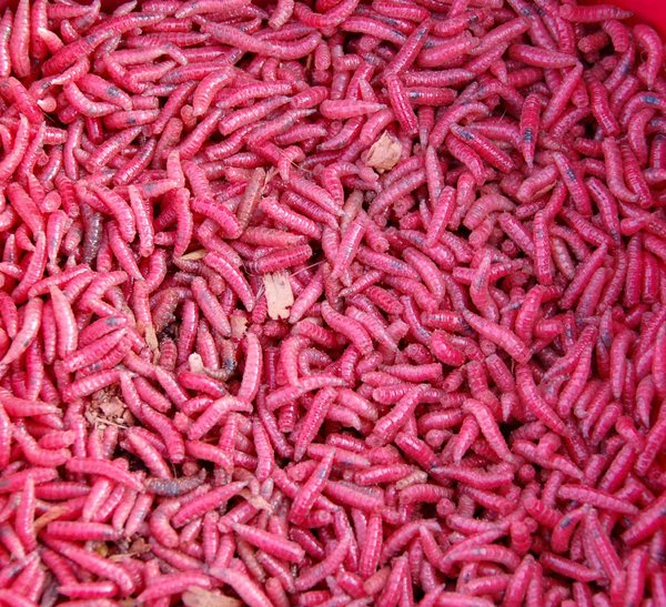 Red maggots: used as fishing bait in England, regarded as superior to undyed white maggots!