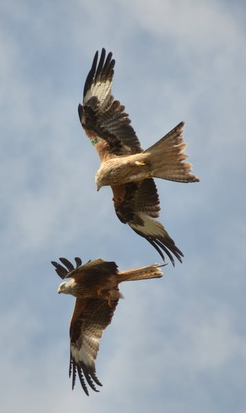 Red kites 2: Red kites in Galloway, SW Scotland