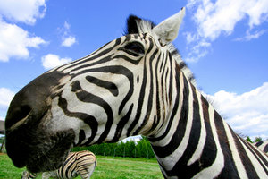 Wide-Angle Zebra: Wide-angle close-up of a zebra.
