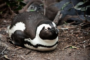 African Penguin: African penguin resting at Boulders Beach near Cape Town, South Africa.