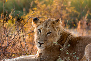 Kruger Park Lioness: Close-up of a lioness from Kruger National Park, South Africa.