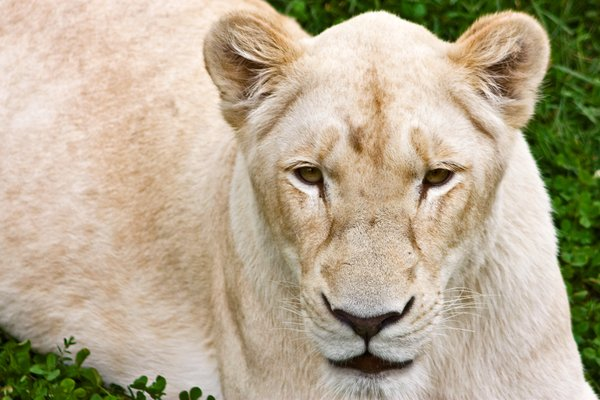 White Lioness: Close-up of a white lioness from a local safari park.