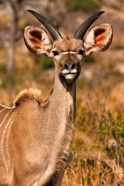 Young Kudu: Close-up of a young kudu from Kruger National Park, South Africa.
