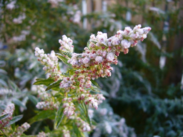 Frosty Garden: A flowering artemisia sparkles with frost in the garden