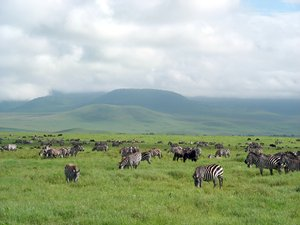 zebras: photo taken in Tanzania