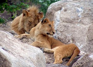 lazy lions 3: photo taken in Tanzania