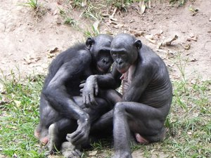 bonobo chimpanzees: photo taken in DR Congo
