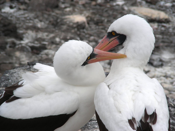nazca booby: photo taken on Galapagos islands