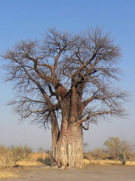 huge tree: photo taken in Botswana