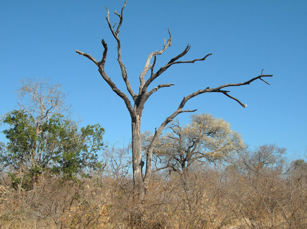 dead tree: photo taken in mozambique