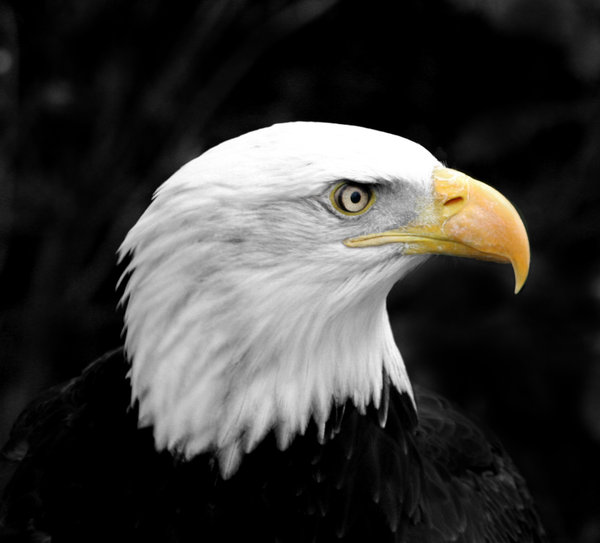 Bald Eagle 2: Im happy for anyone to use any of my shots restriction free. I would only ask that they not be used for political, sexual or hate purposes, in keeping with the spirit of SXC.Also I would appreciate a quick mail to let me know how you've used the shot, jus