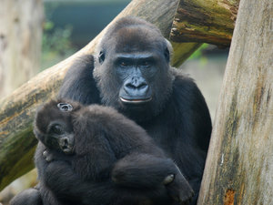 Mother and baby gorilla: Mother and baby gorilla spotted in Burger's Zoo Netherlands