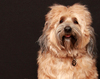 Tibetan Terrier Dog 3: My Tibetan Terrier on his 4th birthday!