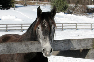 Horses In Winter 1: Portraits...a black/gray mare and my chestnut gelding.Please let me know if you are able to use my pictures for something.Even if it's something small --I would be absolutely thrilled to know if they came in useful for anyone!