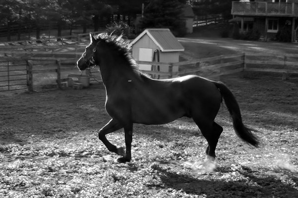 Black & White Horse: Black & White: Horse trotting at liberty in a paddock at sundown