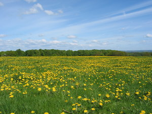 Dandelion everywhere: Picture taken May 13, 2004, a few km east of Dalby, Skåne, Sweden. Canon powershot G2.