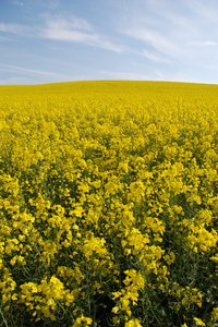 Yellow fields 4: PLEASE RATE THIS PHOTO!Rape field on a slope in Skåne, Sweden, May 2007.