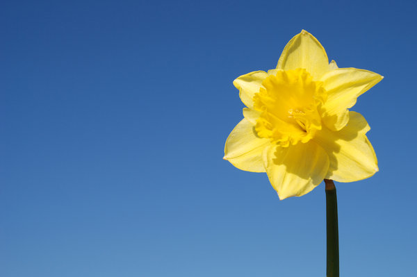 Wild daffodil 2: Wild daffodil. Widely used in Sweden in connection with Easter.