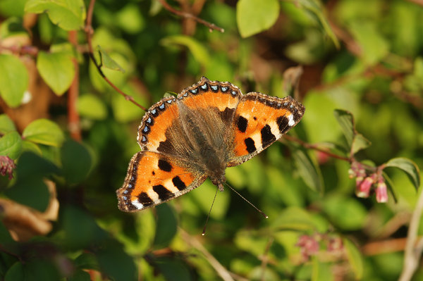 Tortoiseshell: Small Tortoiseshell butterfly spreading her wings to absorb heat a sunny atumn day.
