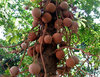 cannon ball tree fruit: large hard shelled fruit of the cannonball tree