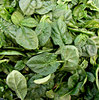 baby leaf spinach: bulk quantity of small baby leaf spinach