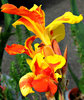 fiery flower1: brilliantly coloured garden flower