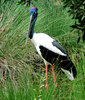 black-necked stork3: distinctive Australian stork also known as a jabiru