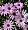pink and white daisies: pink and white African daisies