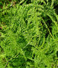 fine foliage: fast growing fine foliage of tangled garden creeper