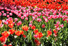 spring tulips19: Spring tulips display at Western Australia's Araluen bush Park