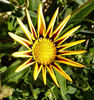 gazania colour2: the painted-like colourful appearance of gazanias
