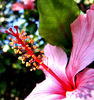 hibiscus pink1: flower parts of the common and prolific flowering white and pink hibiscus