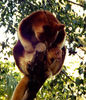 in mothers care1: rare and endangered Goodfellow's tree kangaroo mother with joey in pouch