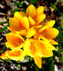 freesia gold2: colourful and very strongly scented freesia - both a garden plant and a competing bushland weed (in Australia)