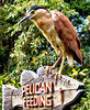 waiting for a feed1: hungry waiting Nankeen night heron