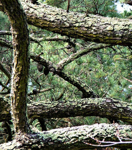 covered: tangled pine tree branches with lichen covered bark