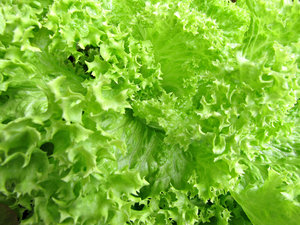 lettuce varieties: varieties of salad lettuce leaves