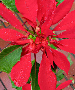 rain drops on red and green: rain drops on red poinsettias
